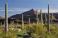 Desert in bloom and Saguaro Cactus (Carnegiea gigantea), Teddy Bear Cholla Cactus (Opuntia bigelovii), Organ Pipe Cactus (Stenocereus thurberi), Organ Pipe Cactus National Monument, Arizona, USA
