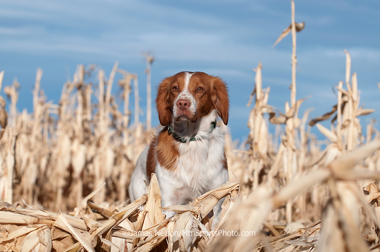 Brittany Spaniel on Point in Corn Field