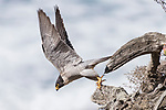 La Jolla, California; an adult male Peregrine Falcon (Falco peregrinus)  taking flight from a tree stump along the rocky cliff on a sunny afternoon with the Pacific Ocean in the background