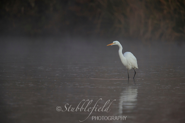 Great Egret (Ardea alba egretta), American subspecies, foraging in the early morning fog at Riparian Preserve at Water Ranch in Gilbert, Arizona.