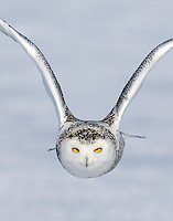 A juvenile snowy owl flies directly towards the photographer