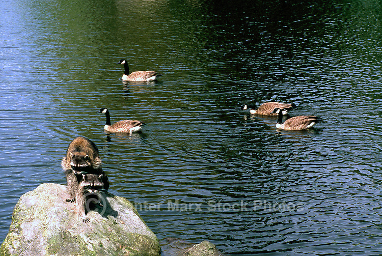 Two Wild Raccoons (Procyon lotor) mating on Rock in Lake, Canada Geese (Branta canadensis) swimming