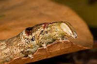 Ello Sphinx moth caterpillar, Erinnyis ello