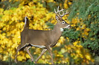 White-tailed deer (Odocoileus virginianus) buck runs with tail up past autumn foliage in southern British Columbia, Canada..