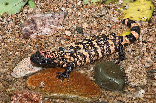 Gila Monster (Heloderma suspectum) in Creek Bed