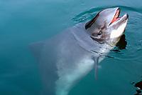 harbour porpoise, common porpoise, Phocoena phocoena (c)