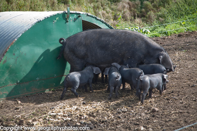 Suffolk large black pig sow weaning her piglets at the Suffolk Punch Trust, Hollesley, Suffolk, England