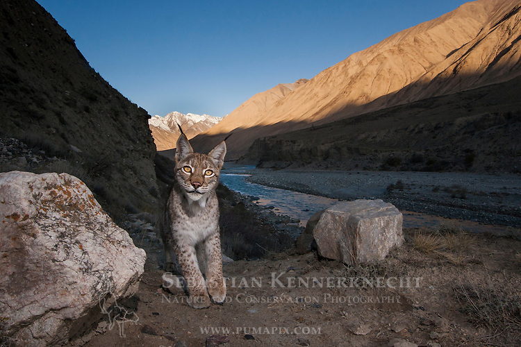 Eurasian Lynx (Lynx lynx) in mountain valley, Uchkul River, Sarychat-Ertash Strict Nature Reserve, Tien Shan Mountains, eastern Kyrgyzstan