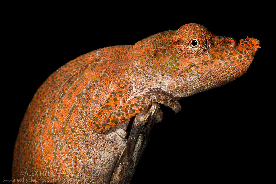 Nose-horned chameleon {Calumma / Chamaeleo nasutus} on branch at night, tropical rainforest. Masoala Peninsula National Park, north east Madagascar.