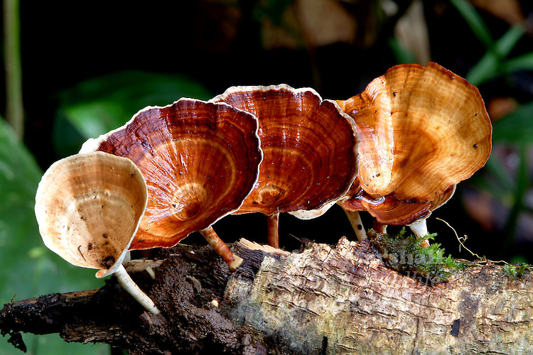 These fungi make shelves or brackets to produce spores above the ground. They are known as polypores (many pores) because the spore producing cells line pores. The pores make them different than many mushrooms.
