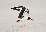 American Oystercatcher (Haematopus palliatus), stretching its wings, Fort DeSoto Park, Florida, USA