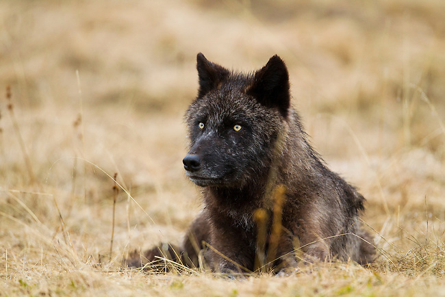 This wolf, a member of the Bow Valley wolf pack, is seen lying down in a meadow,  in Banff National Park, Alberta, Canada.  Photo by Gus Curtis.