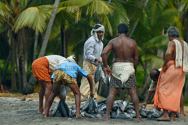 Indian fishermen dividing their successful catch of fish at Varkala beach. Varkala, Kerala, India.  No releases available.
