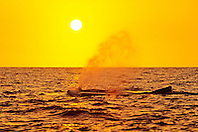 humpback whales, Megaptera novaeangliae, spouting or blowing at sunset, Hawaii, USA, Pacific Ocean