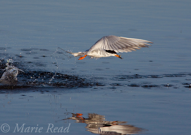 Forster's Tern (Sterna forsteri) jumps out of the water after diving for fish, Bolsa Chica Ecological Reserve, California, USA
