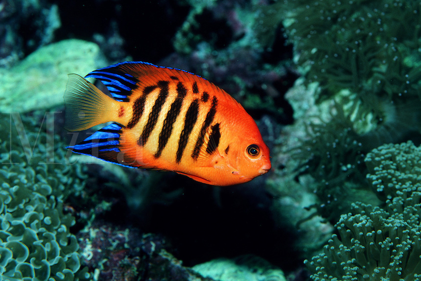 Flame angelfish, Centropyge loricula, is found in the tropical Pacific . It grazes on algae on the coral reef and is highly prized by aquarists, Indo-Pacific