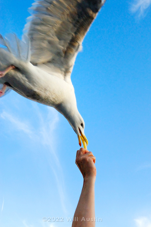 Seagull eating french fry from hand