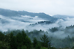 Coast Redwood (Sequoia sempervirens) forest in fog, Pescadero Creek County Park, California