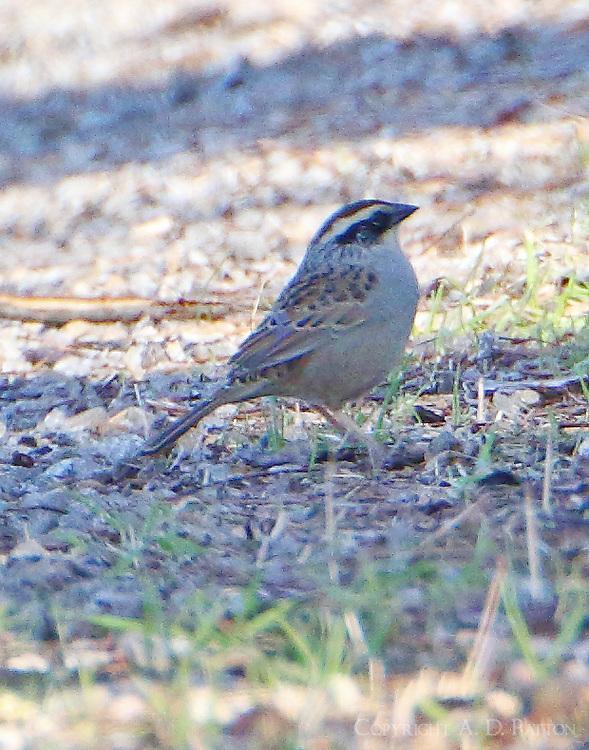 Striped sparrow