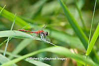 06660-00103 White-faced Meadowhawk dragonfly (Sympetrum obtrusum) male, Jo Daviess Co.,  IL