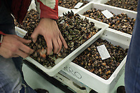 December 09, 2011 - La Coruña. A buyer inspects the quality of a box of percebes at the fish market of La Coruña. Most of the fish and sea food catch in the region is sold here. © Thomas Cristofoletti 2011