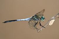 389130005 a male gray-waisted skimmer dragonfly cannaphila insularis a rare odonate found in breckenridge park san antonio texas