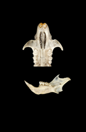 Harvest Mouse - Micromys minutus - skull and jaw bone