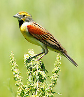 Adult male dickcissel in breeding plumage on weed head