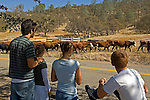 La Grange, California October 26, 2006.Erickson Cattle Company move cattle from Uglow Ranch on Penon Blanco Rd  to Merced Falls Road at the stone corral. ..Photo by Al Golub/Golub Photography