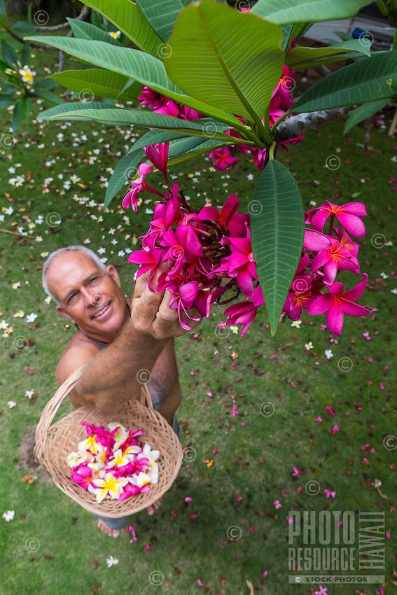 A local man picks pink plumeria flowers in a yard on O'ahu.