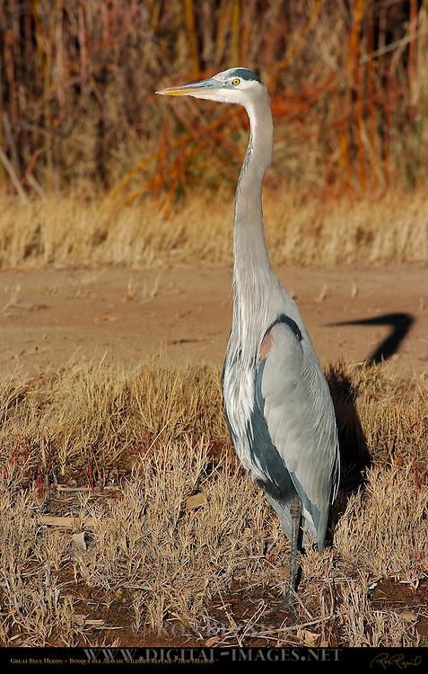 Great Blue Heron, Bosque del Apache Wildlife Refuge, New Mexico