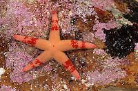 Blutstern, Blut-Seestern, Blutseestern, Seestern, Henricia spec., Slender sea star, Northern Henricia, Blood star, Blood starfish, sea star, star fish, sea-star, star-fish, Seesterne, sea stars