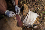 African Lion (Panthera leo) biologist, Milan Vinks, collaring six year old female lion, Kafue National Park, Zambia