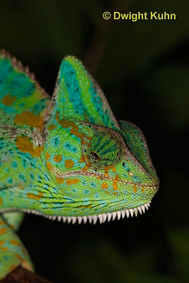 CH51-597z Female Veiled Chameleon in display color, Chamaeleo calyptratus