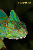 CH51-597z Female Veiled Chameleon in display color, Chamaeleo calyptratus