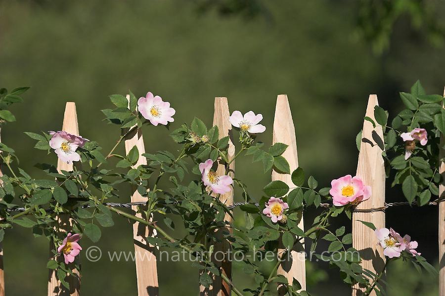 Wildrose, Wild-Rose, Rose, Staketen-Zaun, Holz-Zaun, Zaun im Garten mit Wildrosen, Heckenrose bewachsen, Rosa