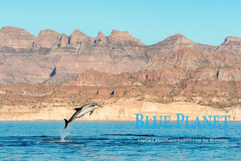 short-beaked common dolphin, Delphinus delphis, Gulf of California, Sea of  Cortez, Mexico, Pacific Ocean