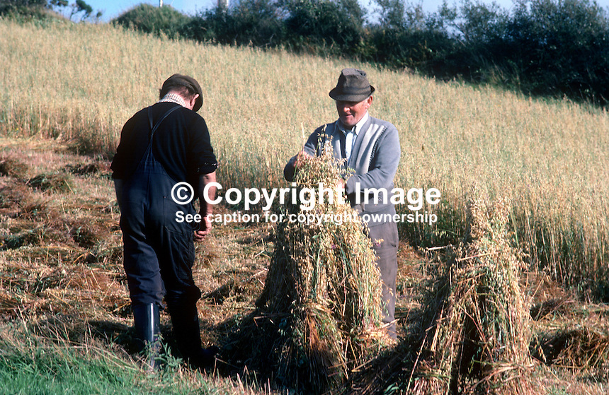 Harvesting corn, oats, the old way, on a farm in Co Donegal, Rep of Ireland. The men are stooking, i.e. propping up the corn sheaves together and tying them with corn stalks. 197809000250a..Copyright Image from Victor Patterson, 54 Dorchester Park, Belfast, United Kingdom, UK...For my Terms and Conditions of Use go to http://www.victorpatterson.com/Victor_Patterson/Terms_%26_Conditions.html