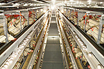 "Egg-producing company J.S. West spent $3.2 million installing these ""enriched colony systems"" in Atwater, California,  August 11, 2010. California's Proposition 2, passed in 2008, requires that egg-laying hens in California be able to fully extend their limbs, lie down and turn in a circle within their enclosures. .CREDIT: Max Whittaker for The Wall Street Journal.EGGS"