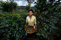 Nicaragua, Women picking coffee.