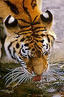 Siberian Tiger (Panthera tigris) drinking.