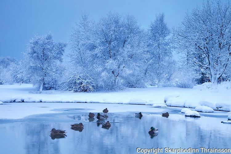 Mallard duck in winter scene