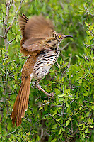 582000054 a wild long-billed thrasher toxostoma longirostre takes flight from a small tree on dos venadas ranch rio grande valley texas