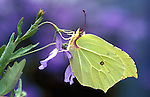 Brimstone Butterfly, Gonepteryx rhamni, adult, showing underside of wings, green on purple flower and background.United Kingdom....