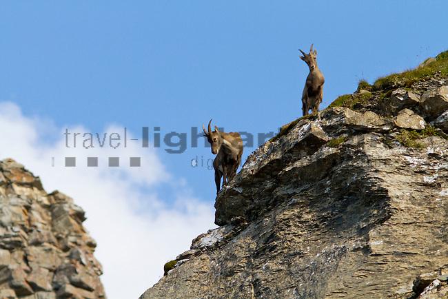 Alpen-Steinbock, Lawenatal, Falknis, Wanderung, Triesen, Liechtenstein.