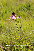 65063-00102 Pale Purple Coneflowers (Echinacea pallida) White River Trace Conservation Area, Dent Co. MO