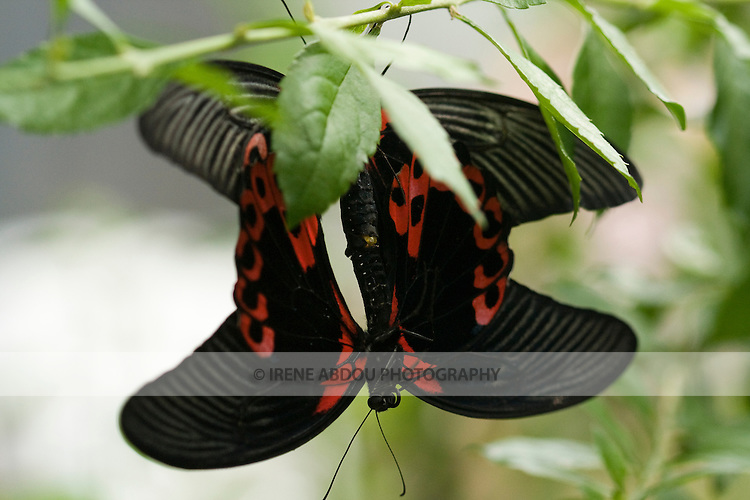 """Two butterflies mate during the annual """"Wings of Fancy"""" exhibit at Brookside Gardens in Silver Spring, Maryland."""