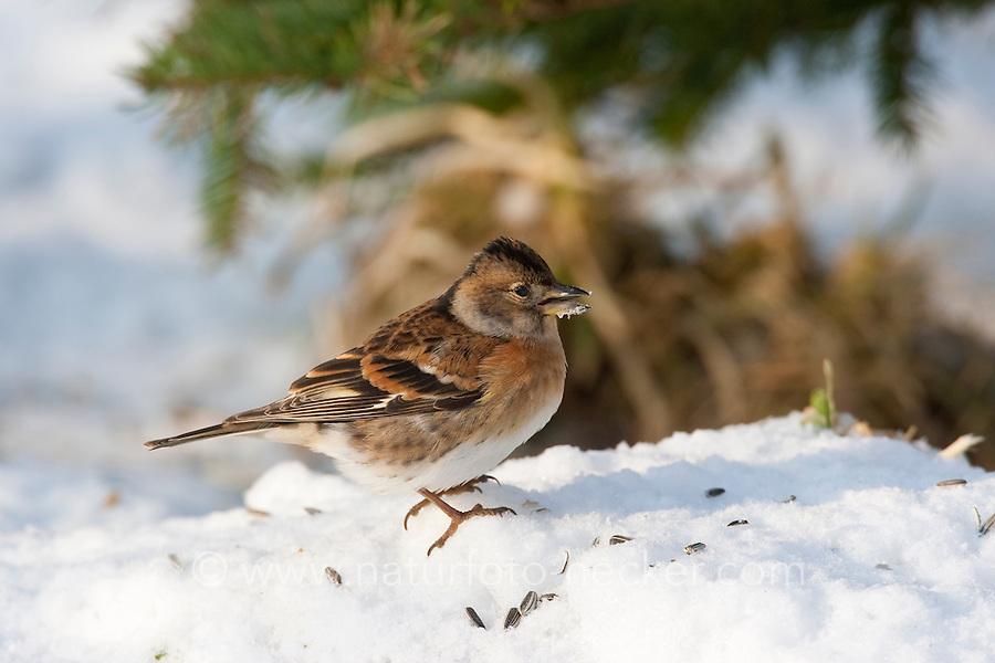 Bergfink, Berg-Fink, an der Vogelfütterung, Fütterung im Winter bei Schnee, frisst Körner am Boden, Winterfütterung, im Schlichtkleid, Fringilla montifringilla, brambling, Pinson du Nord