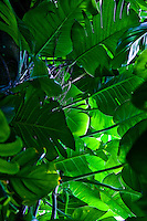 Close up of tropical Hawaiian leaves