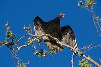 Turkey Vulture, Cathartes aura,adult, Starr County, Rio Grande Valley, Texas, USA